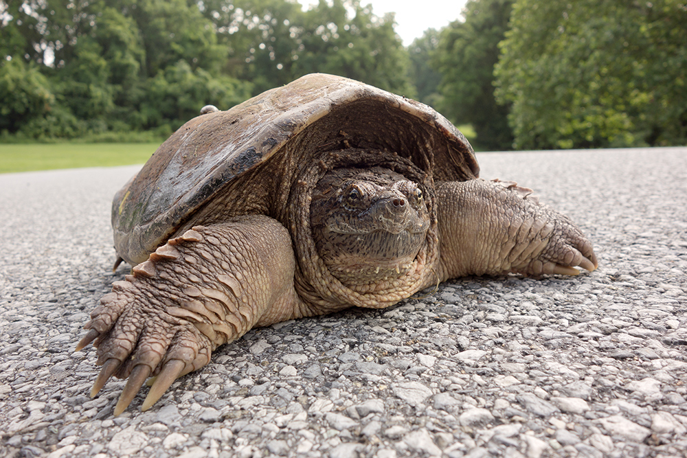 Snapping Turtle-Lancaster County Park