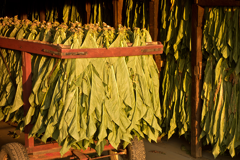 Amish Tobacco Plants