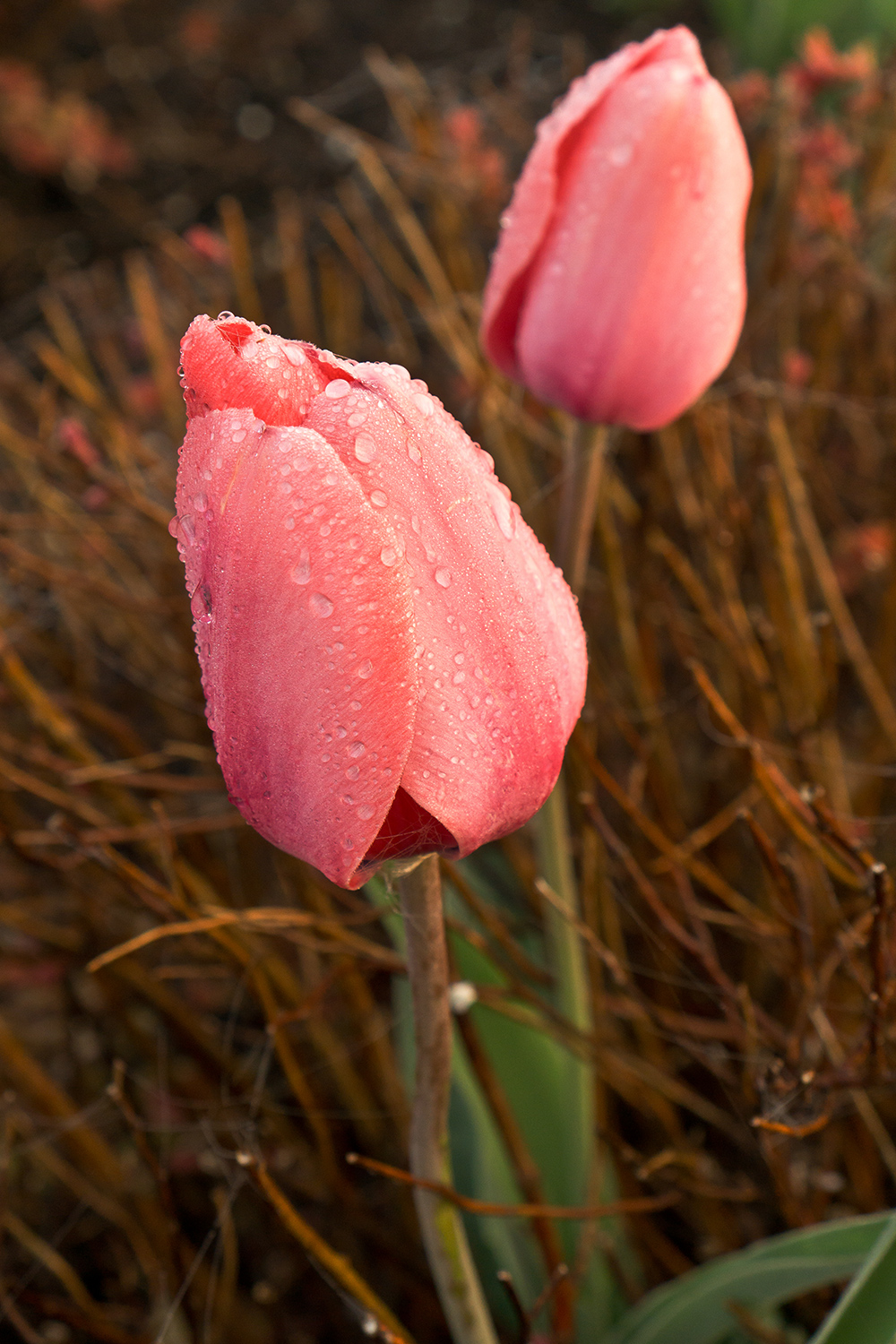 Tulips at dawn