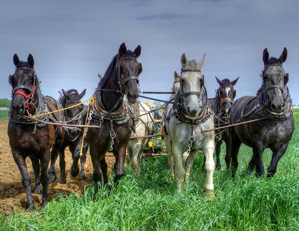 Amish Plow Horses HDR
