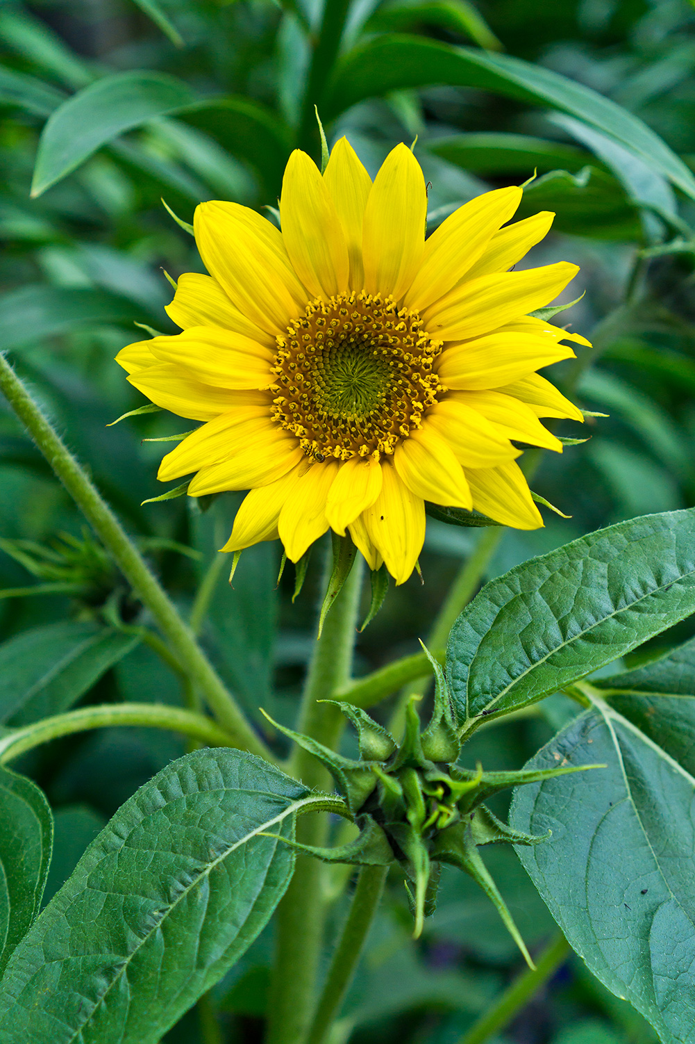 First Sunflower-Best Sunflower