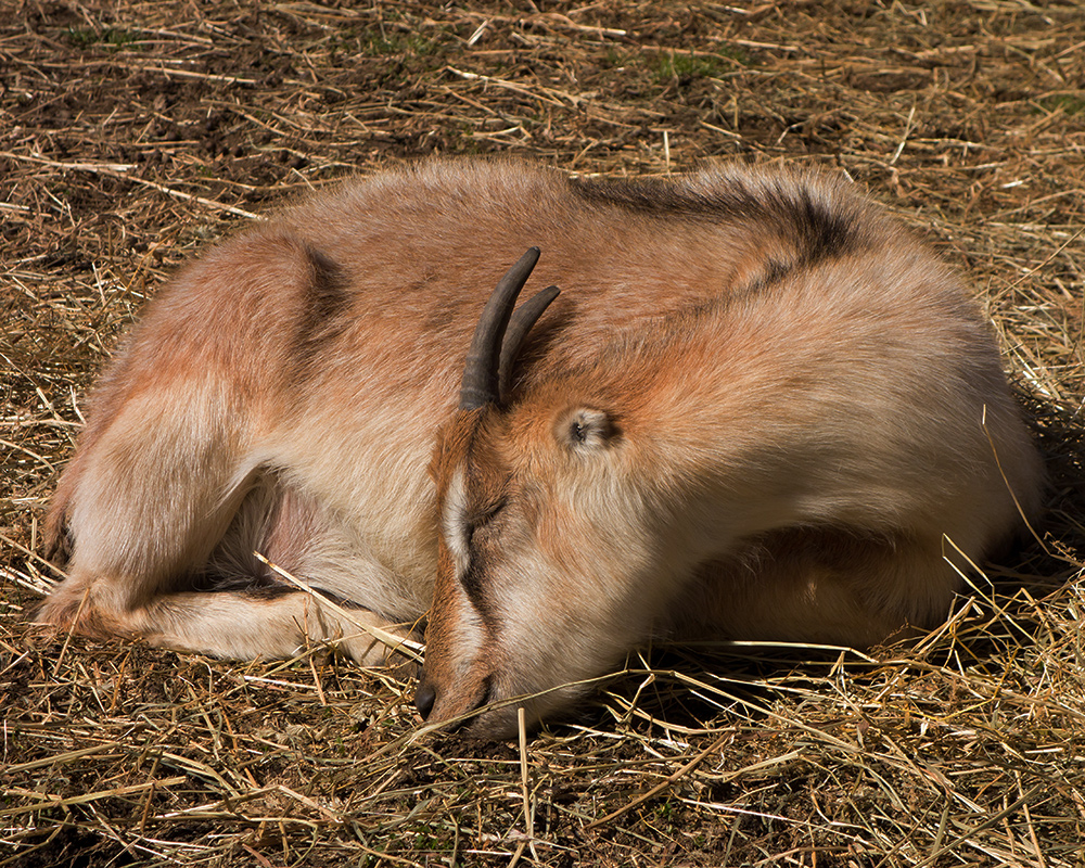 Sleeping Goat