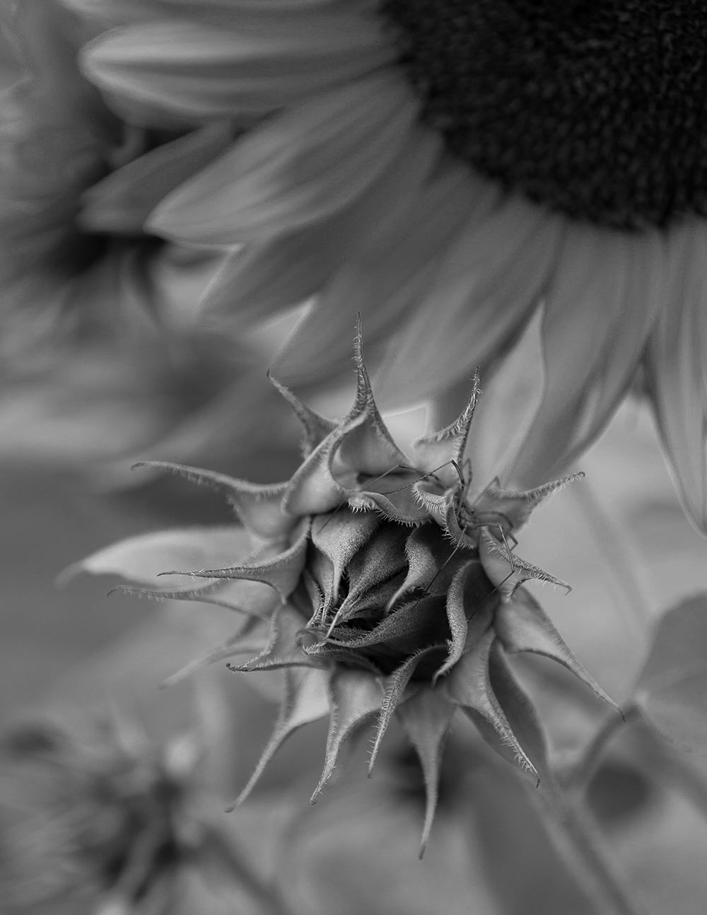 Sunflower and spider