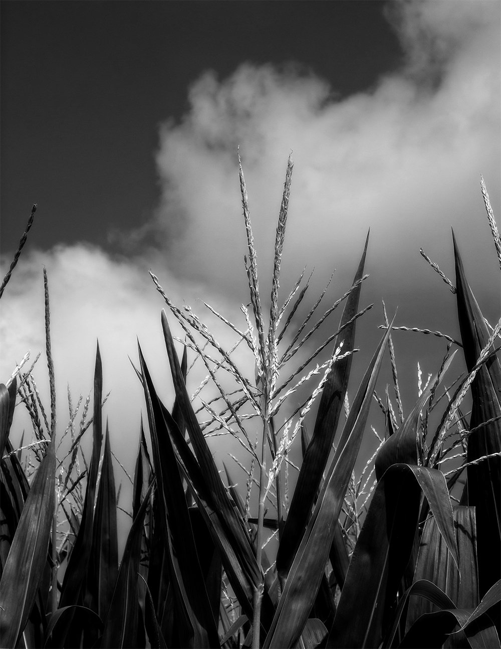 Cornfield (obviously)
